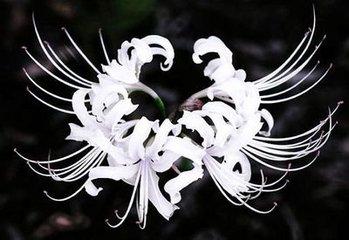 治疗白癜风方法 驱虫斑鸠菊